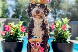 Dogs in Sunglasses and funny hats by a pool